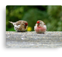 His & Hers! - Redpoll - NZ - Southland Canvas Print