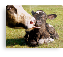 Welcome To The World My Son!! New Born Calf - NZ Metal Print