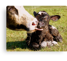 Welcome To The World My Son!! New Born Calf - NZ Canvas Print