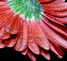 Red Gerbera Flower by Dipali S