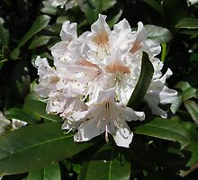 Delicate Rhododendron Blossoms by kathrynsgallery