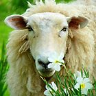 Stop... And Smell The Roses - NZ Sheep  by AndreaEL