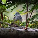 Peaceful Dove by Frank  McDonald