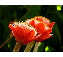 Nature's Bright Shaving Brushes - Paintbrush Lily - NZ Photographic Print