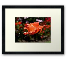 A Single Rose Just For You! - NZ - Southland Framed Print