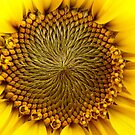 Natures Perfection - Sunflower - NZ by AndreaEL