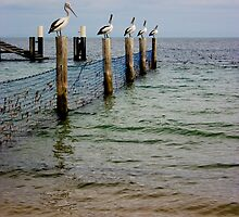 Pelicans by Alecia Scott