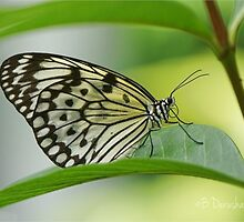 Tree Nymph Butterfly by Barbara Derusha