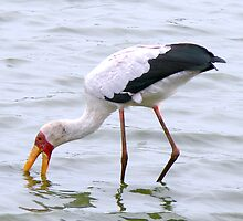 Yellow Billed Stork by AARDVARK