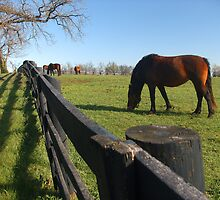 Thoroughbreds in Kentucky pasture by G. David Chafin