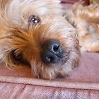 Relaxed Yorkie by Paul Revans