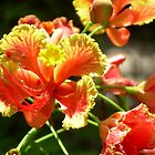 Dwarf Poinciana by Jessica Courtley~Rose