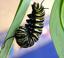Instar! - Extraordinary Transformation! - Monarch Caterpillar - NZ  by AndreaEL