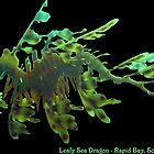 Leafy Sea Dragon by MuscularTeeth