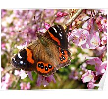 I've Been Dusted With Gold.. Red Admiral Butterfly - NZ Poster