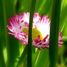 Make way Pink Bloom Peeking Through! - Wild Daisy - NZ - Southland by AndreaEL