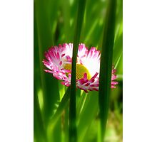 Make way Pink Bloom Peeking Through! - Wild Daisy - NZ - Southland Photographic Print