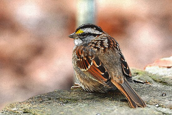White-throated Sparrow by Bonnie T.  Barry