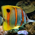 Copper-banded Butterfly Fish. by Frank  McDonald