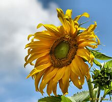Sunflower by Norman1616