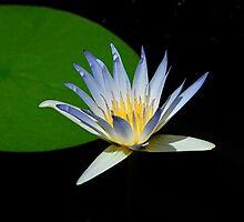 Blue Nile waterlily. (Nymphaea Caerulea) by patapping