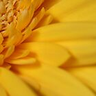 Yellow Gerbera by Roland de Haas