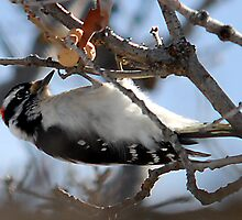 Downy Woodpecker - Suspended by Ryan Houston