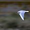 Black Headed Gull by Neil Bygrave (NATURELENS)