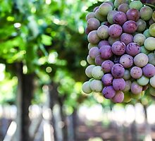 Ripe grapes on a vine in a vineyard  by PhotoStock-Isra