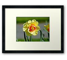 Tie A Yellow Ribbon Round The Old Oak Tree! - Daffodil - NZ Framed Print