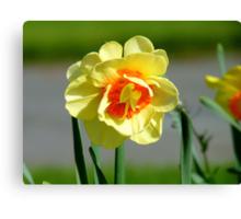 Tie A Yellow Ribbon Round The Old Oak Tree! - Daffodil - NZ Canvas Print