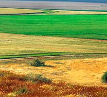 Wheat field, Negev desert, Israel by Eyal Nahmias