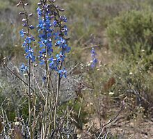 Nevada larkspur by Chris Clarke