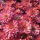 Chrysanthemum Rich Red Garden Flower by dww25921