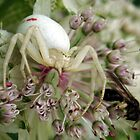 White Crab Spider by Paul Revans