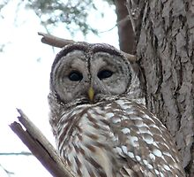 Barred Owl by quadceratops