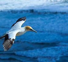 Gannet in Flight by Casperry