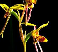 Diuris sulphurea by Paul Amyes
