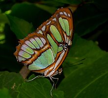 Malachite Butterfly by Jessica Courtley~Rose