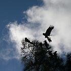 black cockatoos by barnesy64