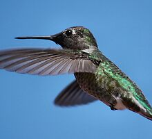 Humming Bird Inflight by BluAlien