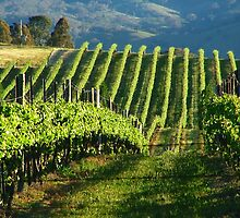Mudgee Vineyard by pedroski