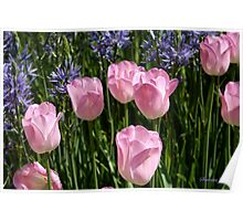 Tulips ~ Dancing in the Sunlight Poster