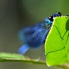 Banded Demoiselle by Taka