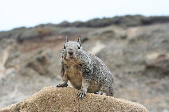 California ground squirrel by Chris Clarke