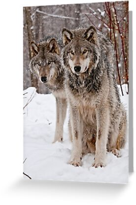 Timber Wolf Pair by Michael Cummings