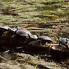 Turtles in the Sun by bertspix