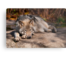 Timber Wolf At Rest Metal Print