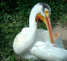 Pelican closeup by Jim Caldwell