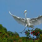 Great White Egret Landing by Michael Wolf